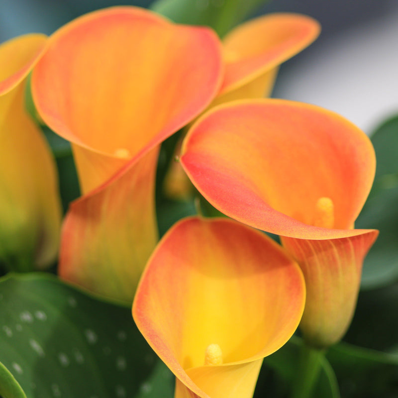 Orange calla lily flowers