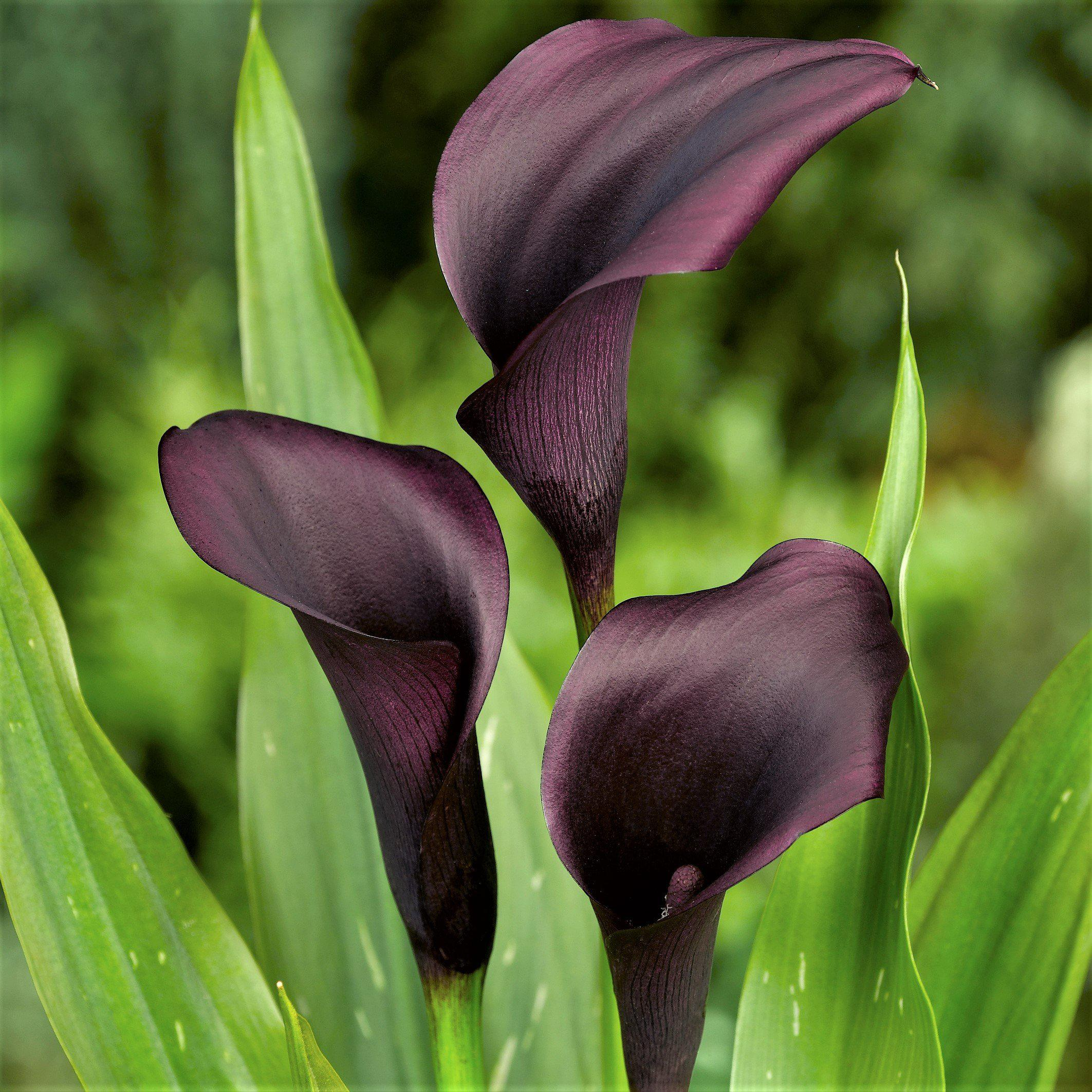 how to grow black arum lily