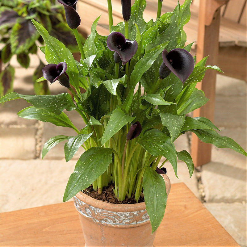 Black Calla Lily Bulbs For Sale
