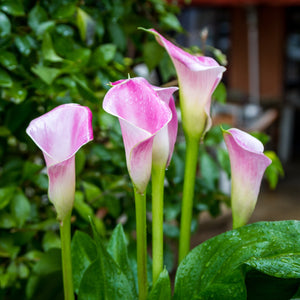 Pink and white calla lily flowers