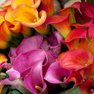 Calla rainbow mix