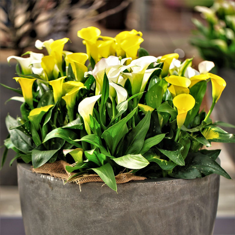 Calla Lily Sunny Day Collection