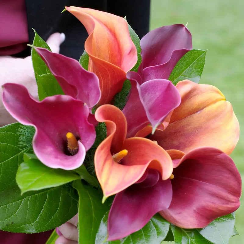 Calla Lily Tropical Sunset Collection