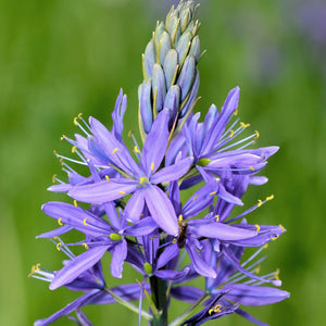 products/Camassia_Quamash_Blue_Melody_641840320.SHUT.jpg