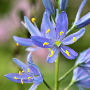 Camassia Leichtlinii Blue Heaven Flower