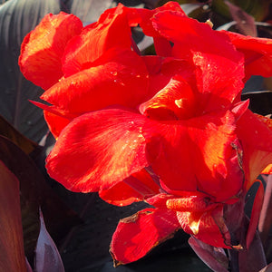 Canna red velvet flowers