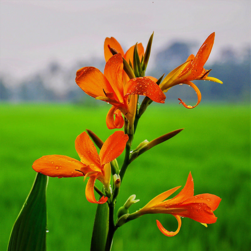 Canna Elite™ Beauty Fruity