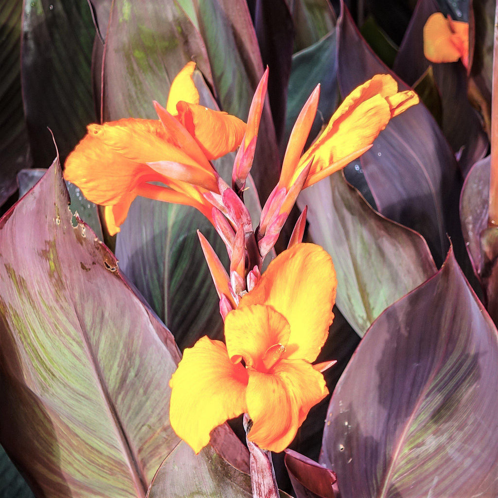 Canna Elite™ Chocolate Sunrise