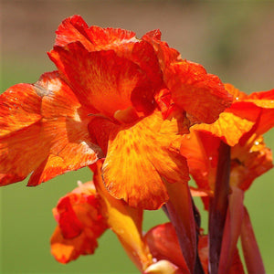 Canna Elite Magic Orange