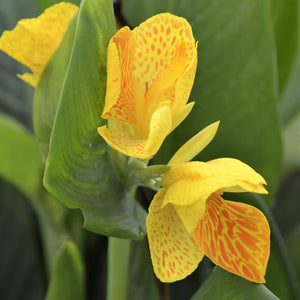 Canna Elite Morning Star