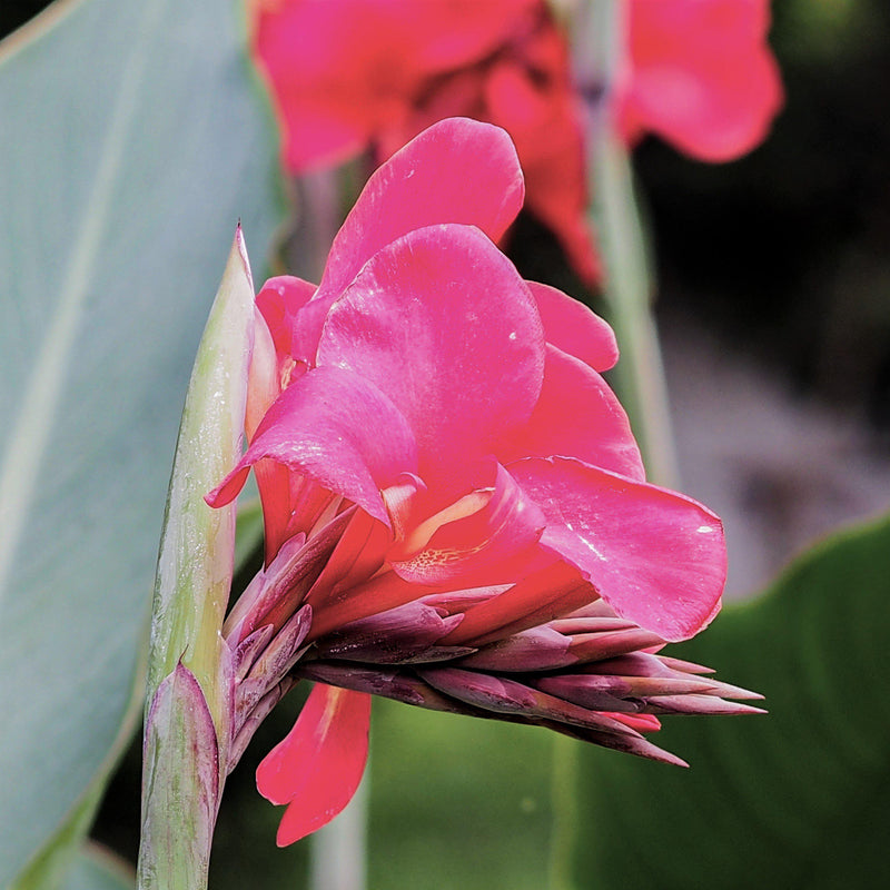 Canna Elite™ Pink Magic