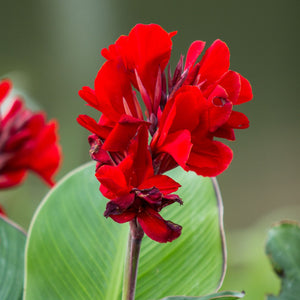 Canna Fire Dragon NEW