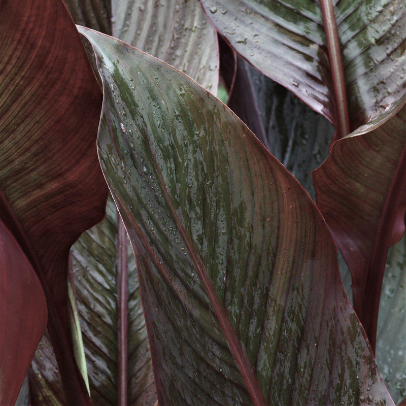 Canna Elite Chocolate Sunrise