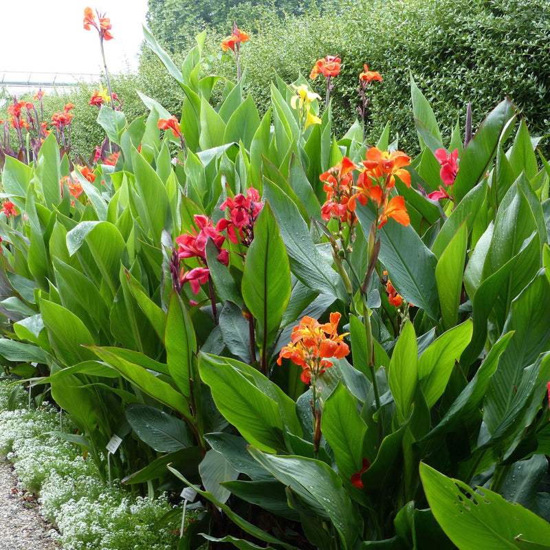 Canna Orange Beauty