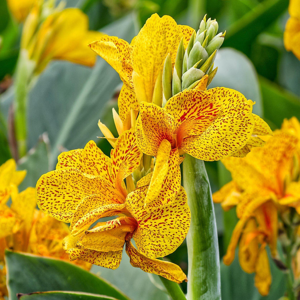 Canna Golden Lucifer