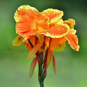 orange and yellow canna