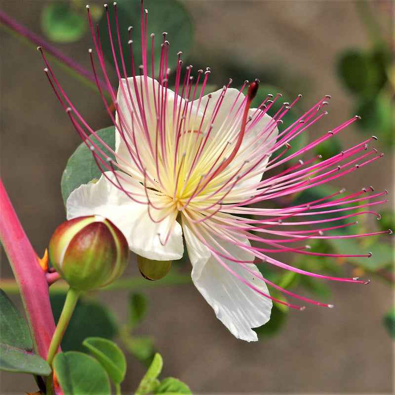Closeup of Caper bush flower