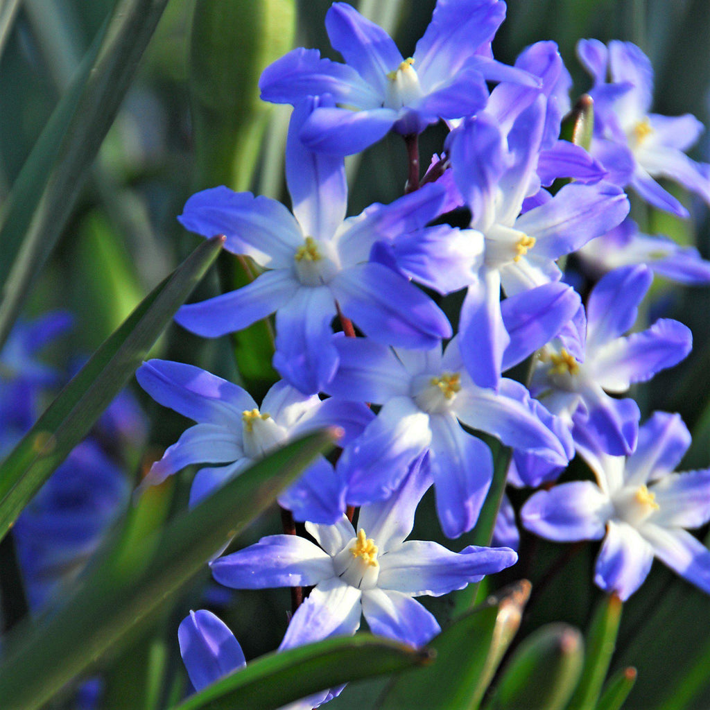 Chionodoxa Blue Giant