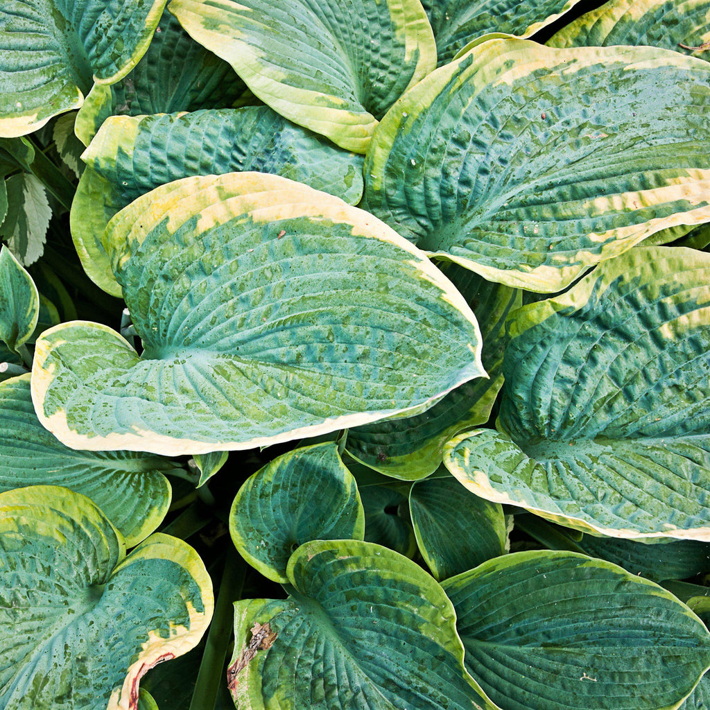 Hosta Christmas Tree Bare Root Christmas Tree Plantain Lily Easy