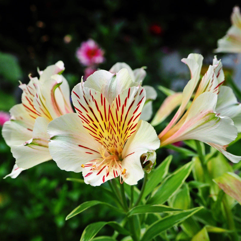 Moonlight Garden Serenade - Alstroemeria, Begonia & Caladium Collection