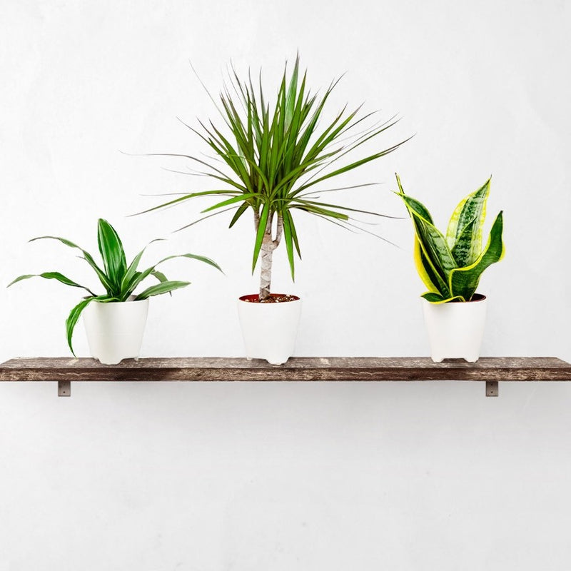 Clean Air Houseplant Collection