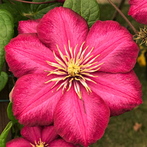 Red Clematis - Ernest Markham Flowers