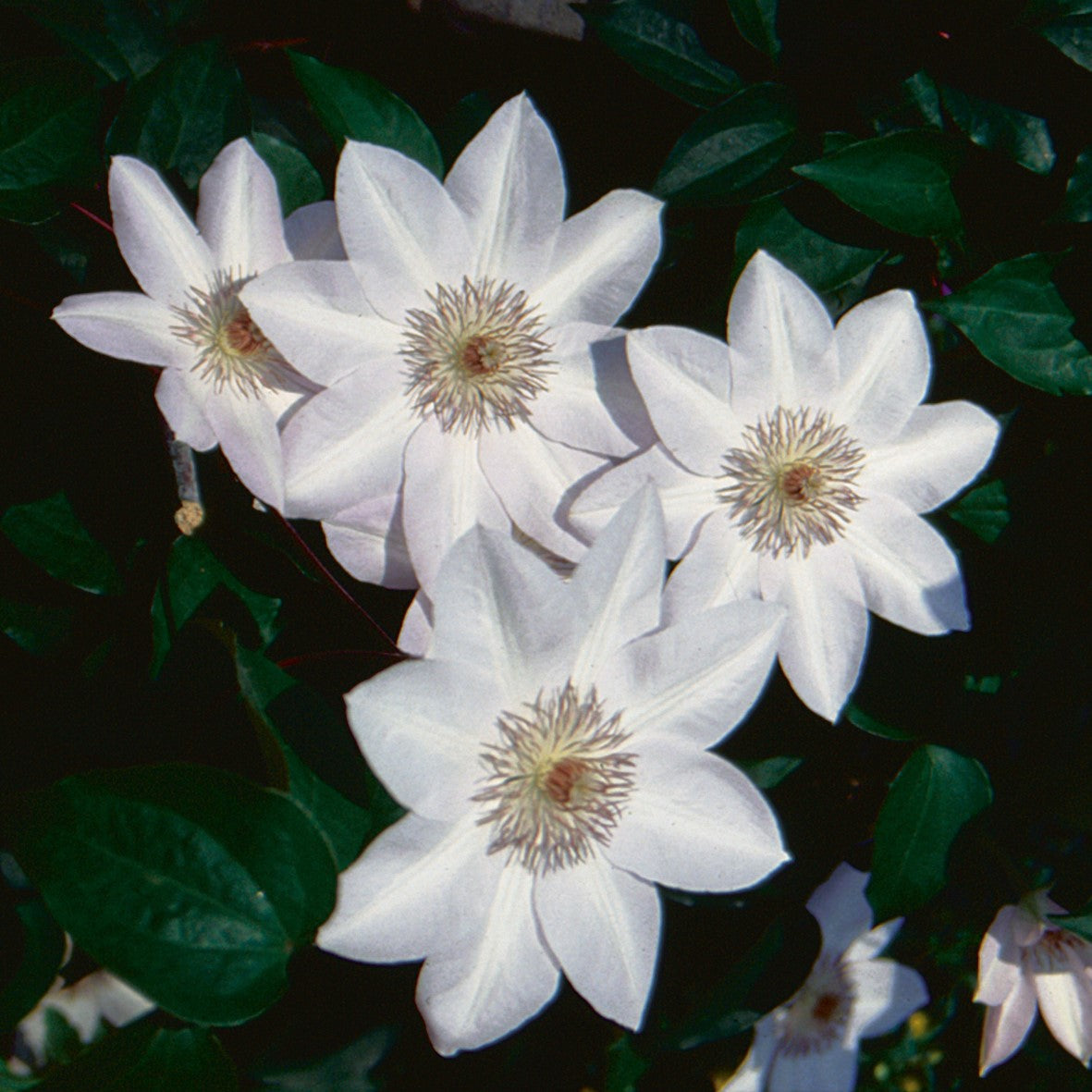 Clematis Henryi | Easy To Grow Bulbs - photo#29