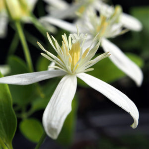 products/Clematis_Paniculata.SHUT.jpg