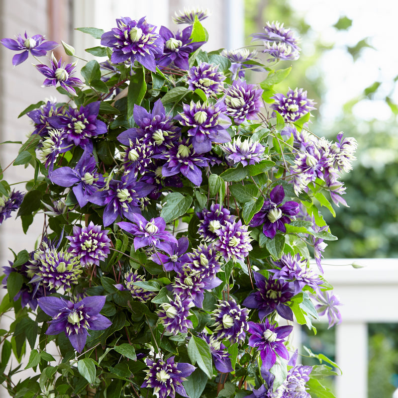Clematis Taiga vine growing