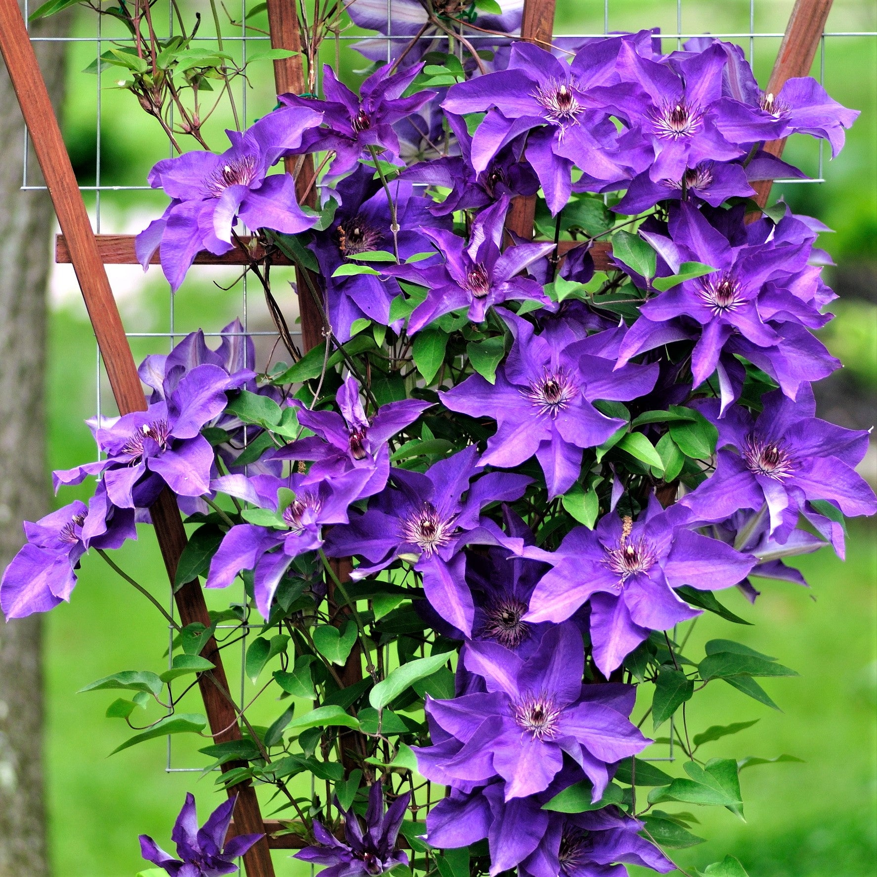Clematis The President | Easy To Grow Bulbs - photo#3