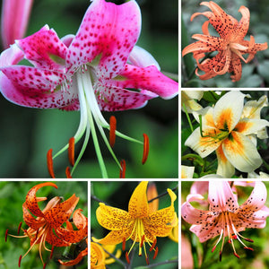 A Carnival of Colors Appear in this Collage of Mixed Tiger Lilies