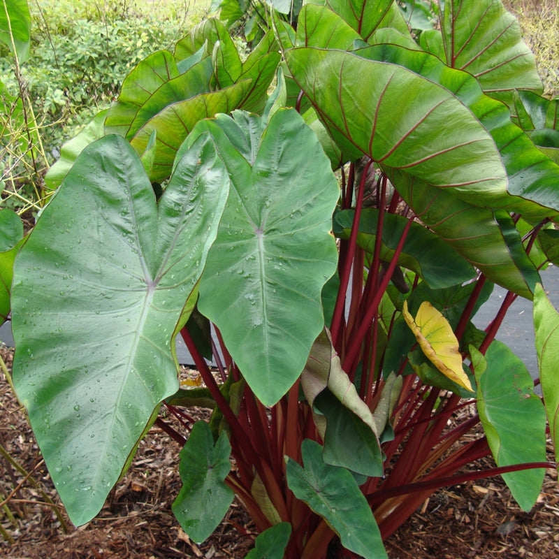 Colocasia Royal Hawaiian Punch