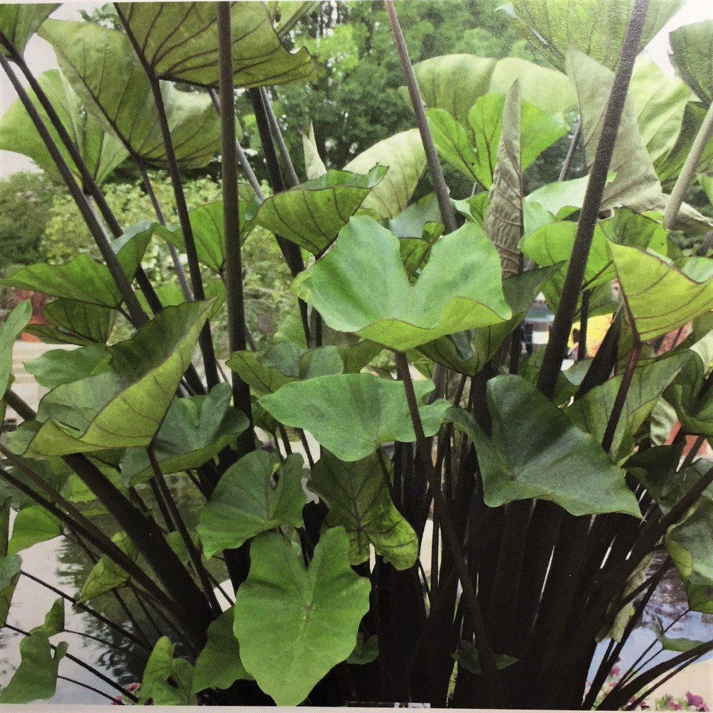 Colocasia leaves online dating