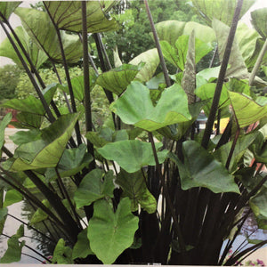 Colocasia Tea Cup