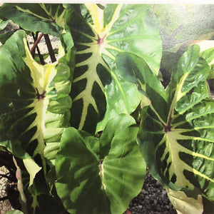 """White Lava"" Colocasia consists of rich, glossy, heart-shaped leaves with a large, broad, flamboyant, creamy white to yellow center vein"
