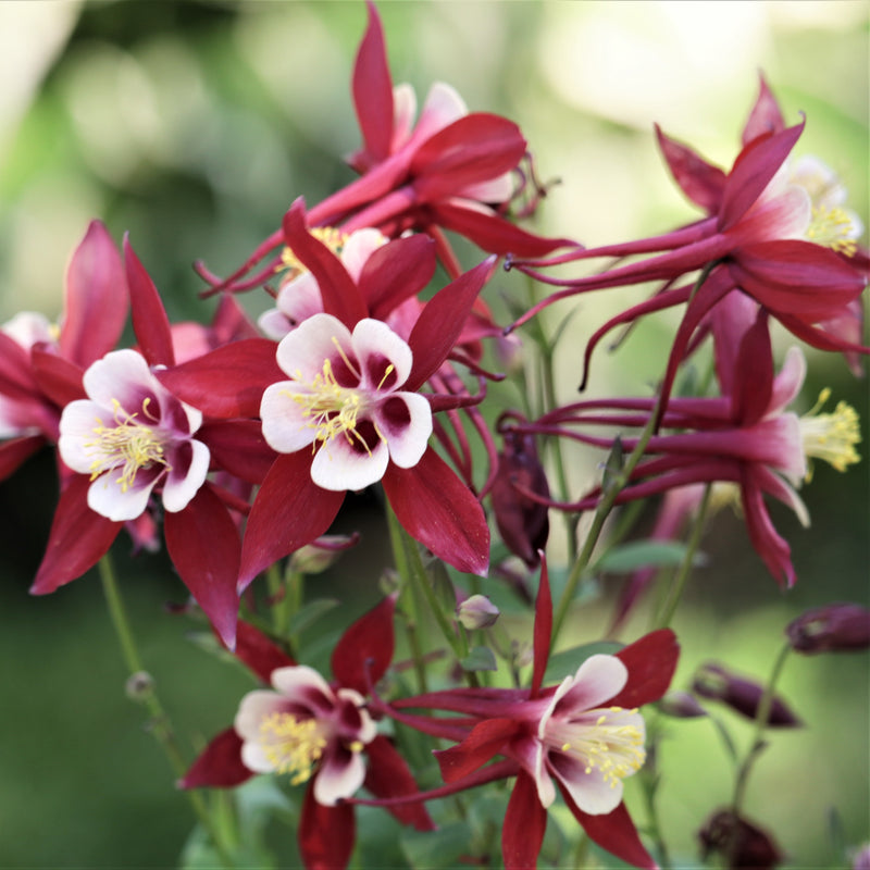 Red and White Columbine Flowers