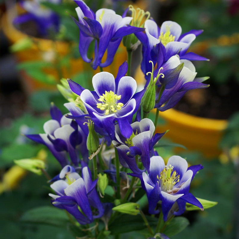 Columbine Winky Blue & White