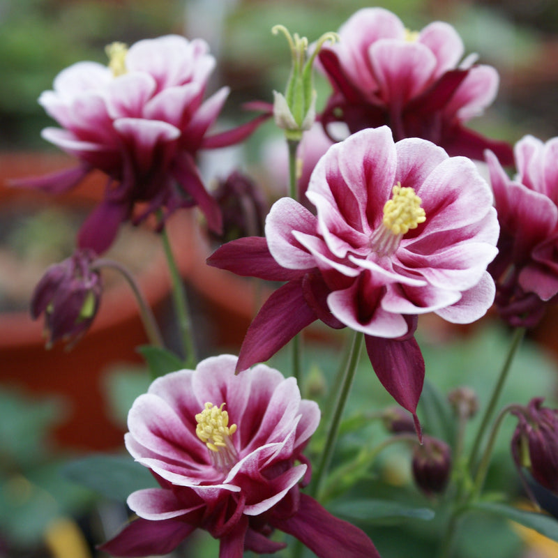 Columbine For Sale Aquilegia Vulgaris Winky Red And White