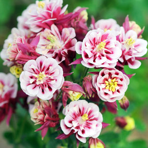 Columbine Winky Red & White flowers