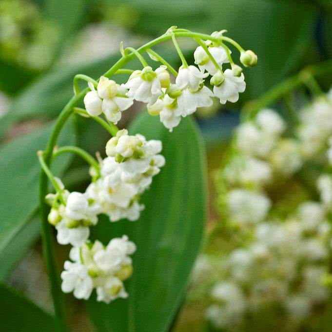 Lily Of The Valley Prolificans Rare Multi Flowered Lily Of The
