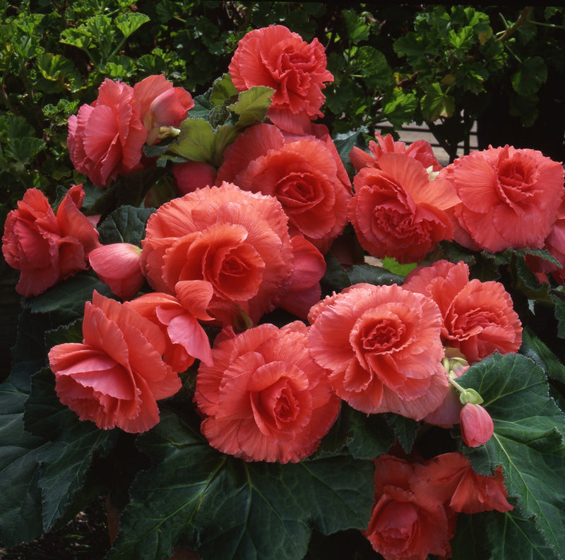 Giant Ruffled Salmon Begonia Large Plants
