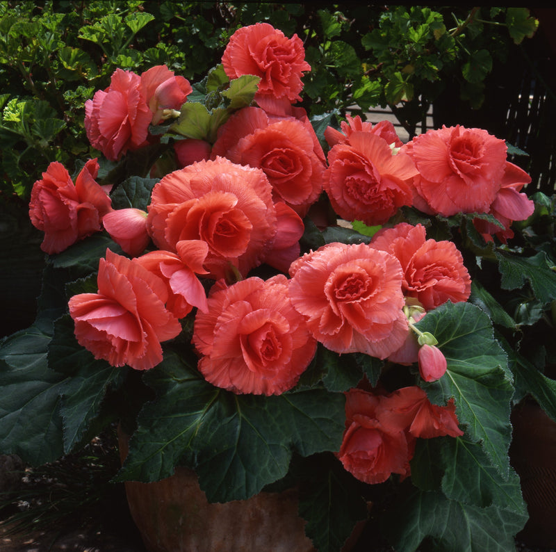 Giant Ruffled Salmon Begonia Planter