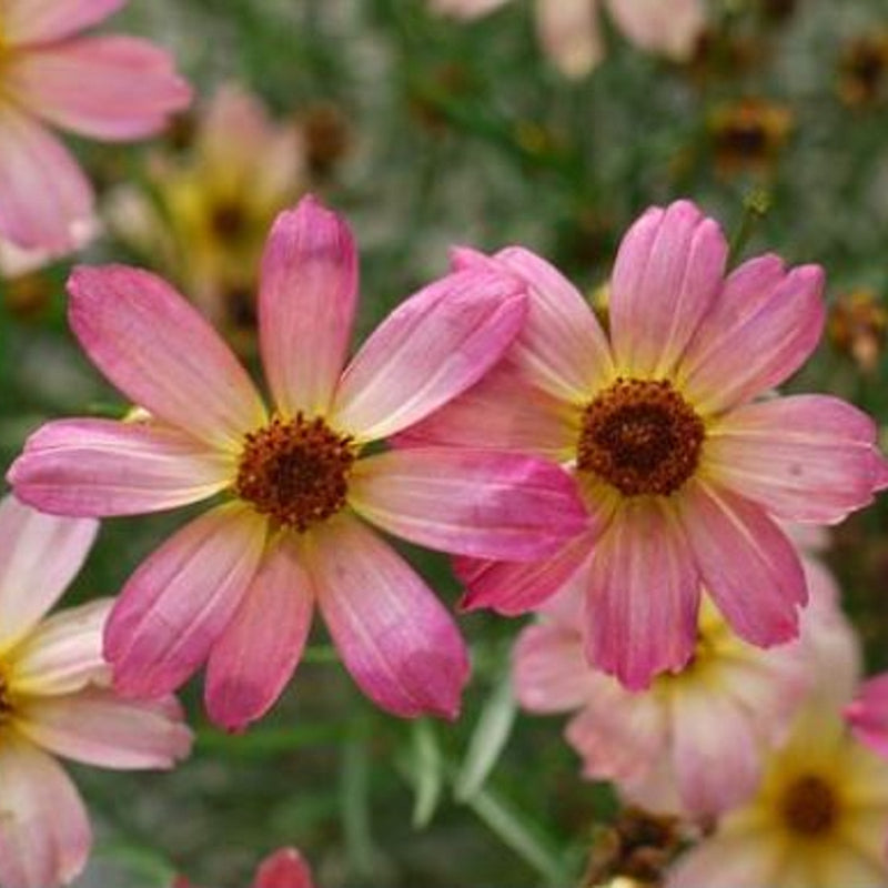 blooming rose-colored coreopsis