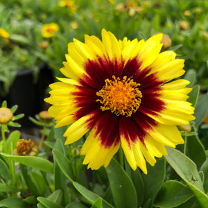 coreopsis yellow and red