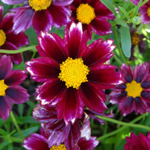 products/Coreopsis_Big_Bang_Mercury_Rising.GC.jpg