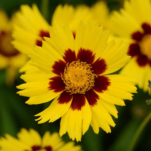 products/Coreopsis_Grandiflora_Sunkiss__Square-1.GC.jpg