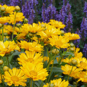 products/Coreopsis_Jethro_Tull.GC.jpg