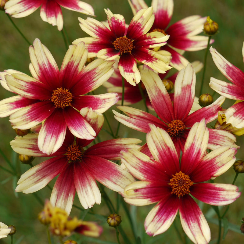 Satin And Lace™ Red Chiffon Coreopsis