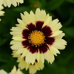 Coreopsis Uptick Cream and Red NEW