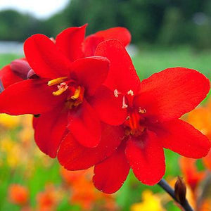 products/Crocosmia_Diablito.OAR.jpg
